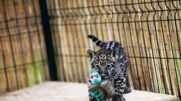 Un pui de jaguar, botezat Mai, se joaca impreuna cu o catelusa, la Gradina Zoologica din Sibiu, vineri 18 iulie 2014. Puiul de jaguar s-a nascut in captivitate acum doua luni si are drept partener de joaca catelusa adoptata de ingrijitorii de la Zoo.