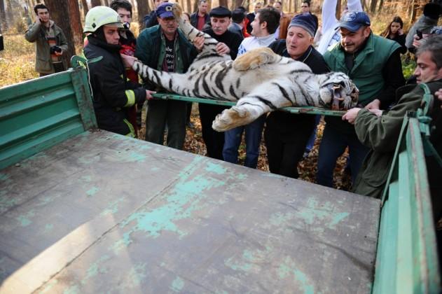 tigru ucis sibiu mihaela (5)