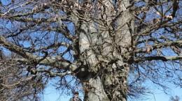 copac-mare
