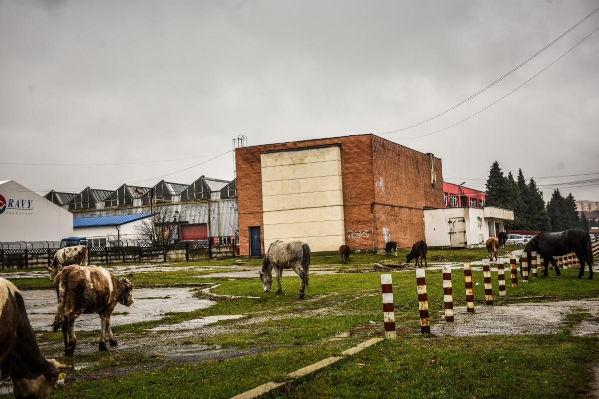 Jumarts vaci de cai și vaci de măgar Eugene Mccarthy Phd