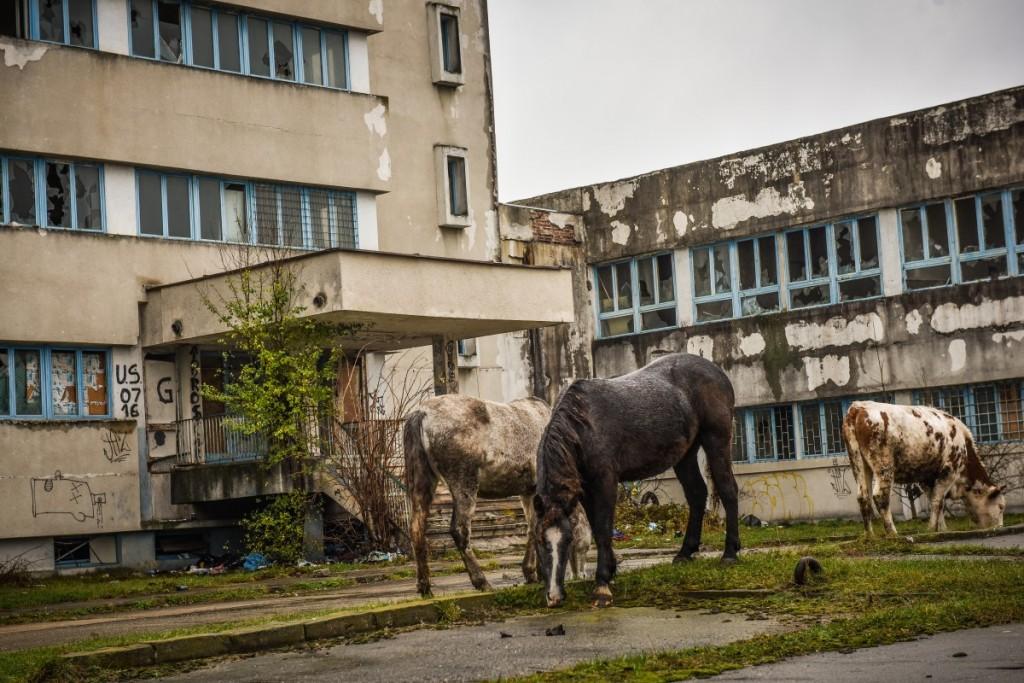animale-stefan-cel-mare-vaci-cai-iesire-sibiu-spre-agnita-15