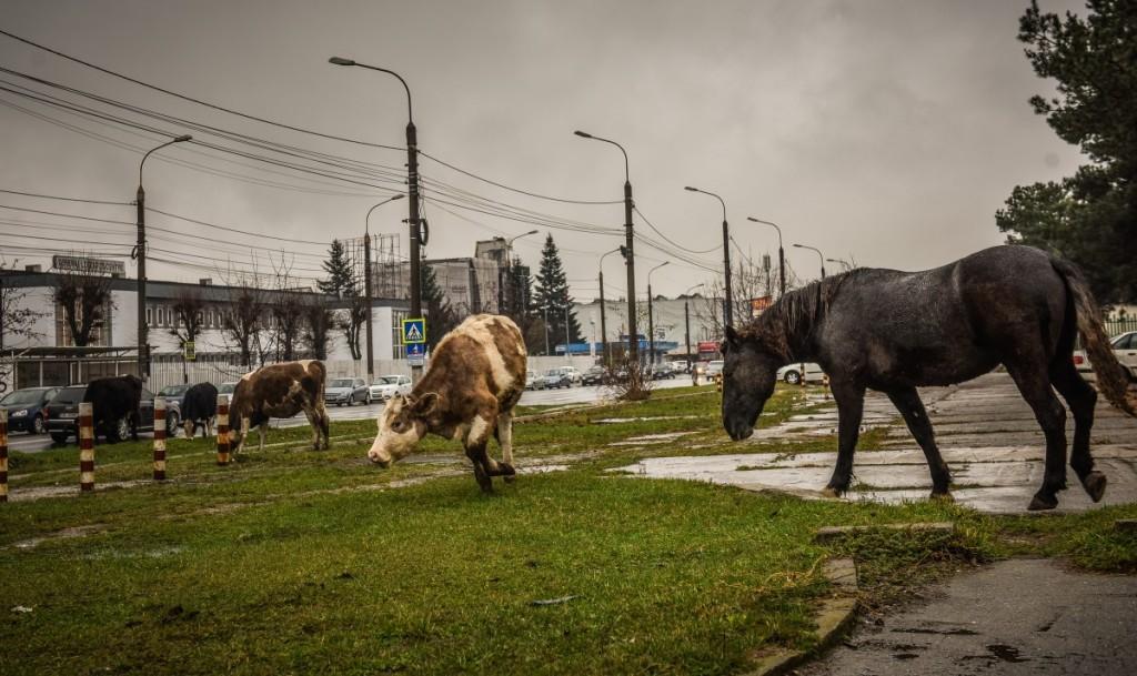 animale-stefan-cel-mare-vaci-cai-iesire-sibiu-spre-agnita-16