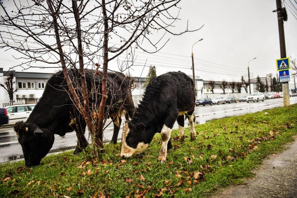 animale-stefan-cel-mare-vaci-cai-iesire-sibiu-spre-agnita-9