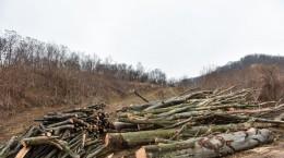 padure taiata aciliu lemne copaci (15) (Copy)