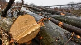 padure taiata aciliu lemne copaci (45) (Copy)