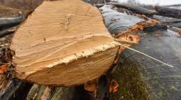 padure taiata aciliu lemne copaci (46) (Copy)