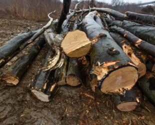 padure taiata aciliu lemne copaci (48) (Copy)