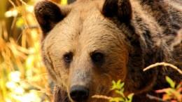Urs-brun-Ursus-arctos-3-760x400