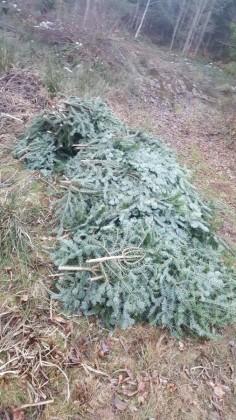 cetina brad padure copaci (2)
