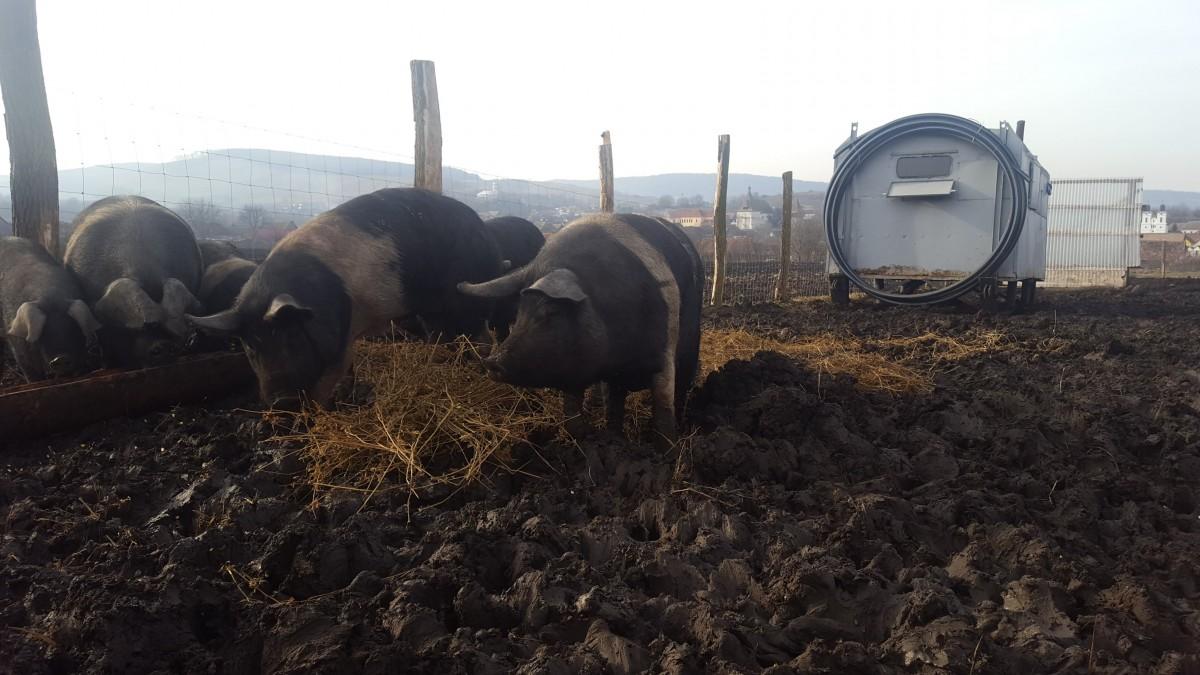 porcul de bazna (1)