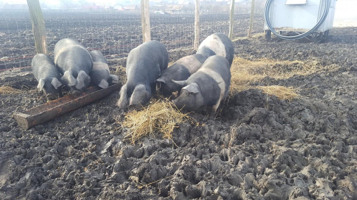porcul de bazna (2)