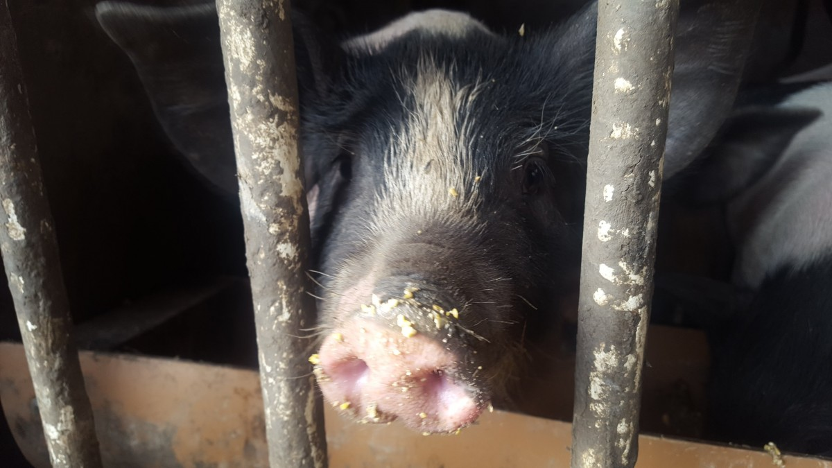 porcul de bazna (4)