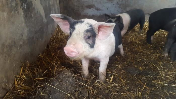 porcul de bazna (5)