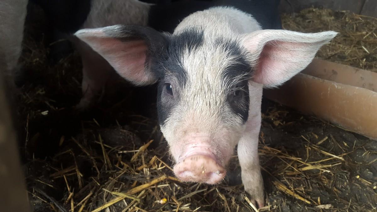 porcul de bazna (6)