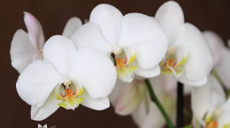 orhidee (3)