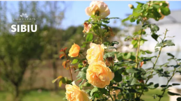 trandafiri (1)