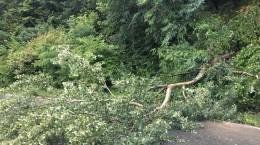 paltinis copac cazut