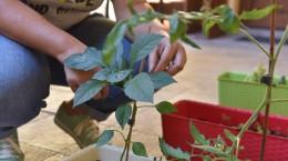 ardei planta ingrijire