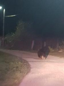 FOTO VIDEO |Urs scos de poliție, din mijlocul comunei Porumbacu de Jos
