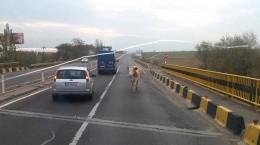 vaca dn 1