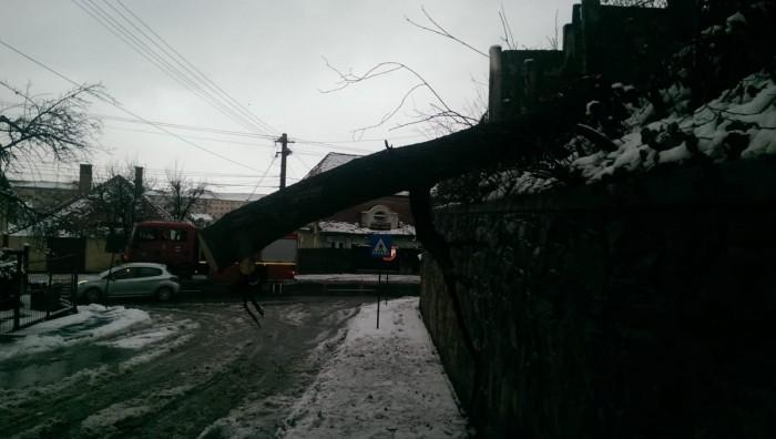 copac cazut strada dobrogei