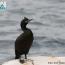 cormoranul Motat_800x704