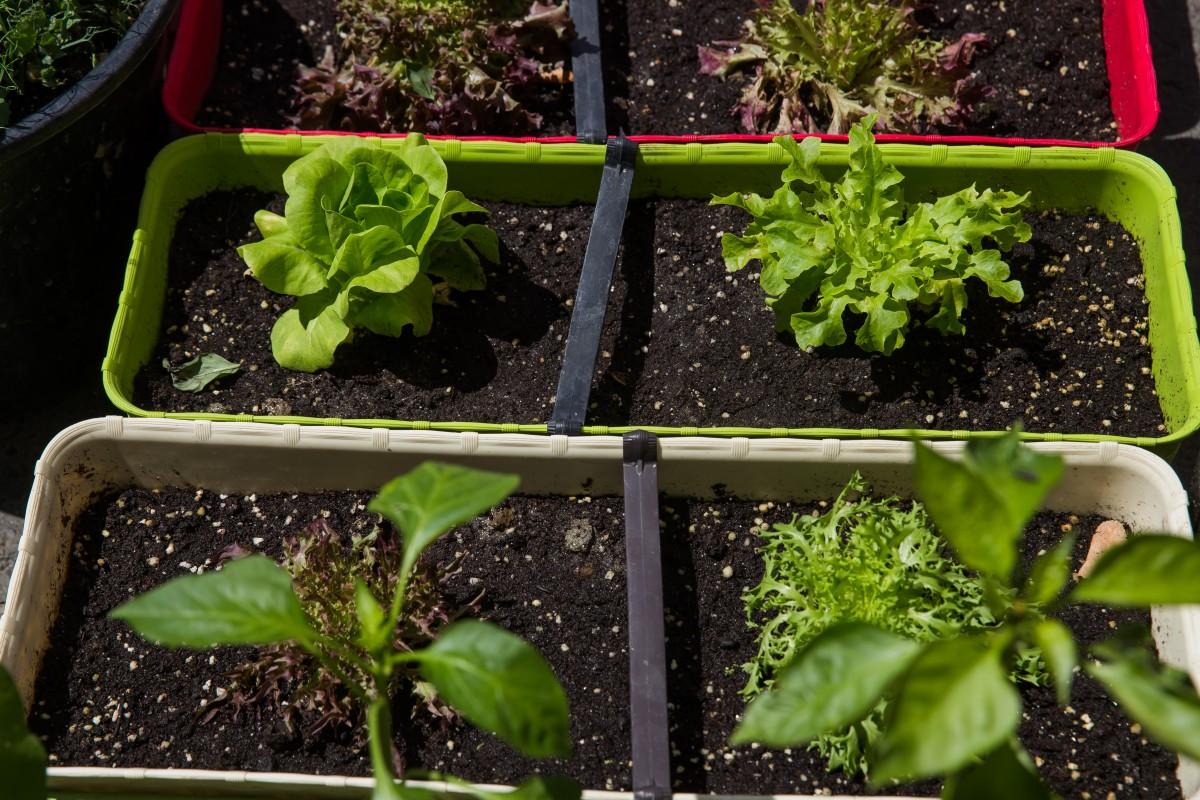 jardinere legume