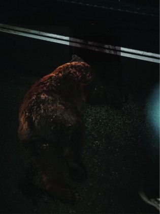 urs hula bradului-01