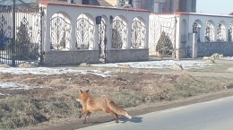 Vulpe in Cartierul Arhitectilor