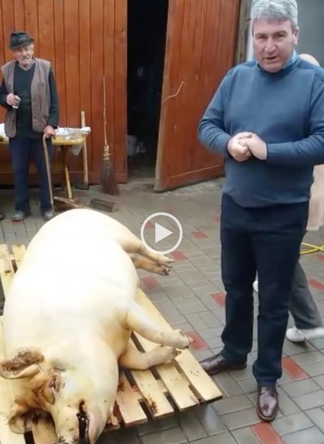 porc sadu popica
