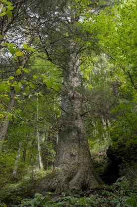 arbore brad anului