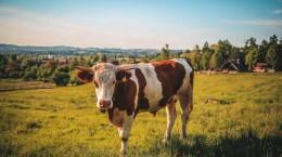 Subventii-APIA-vaci-carne-870x500