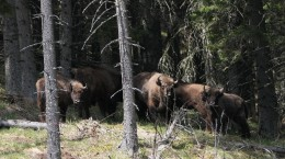 foto Fundația Conservation Carpathia