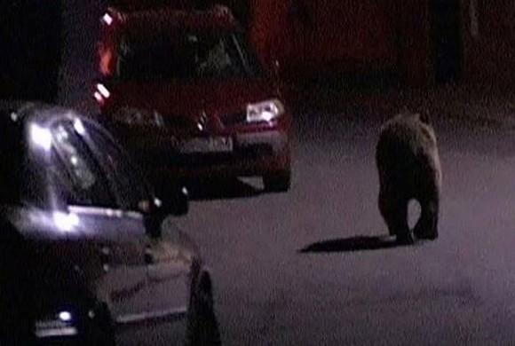Urs rănit pe DN 1, la Scoreiu, după ce a fost lovit de mașină
