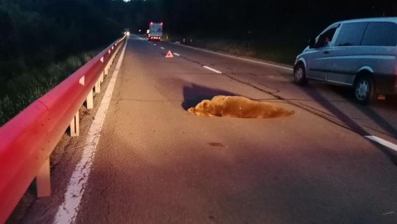 Ursul lovit ieri de mașină lângă Scoreiu a agonizat trei ore până a murit