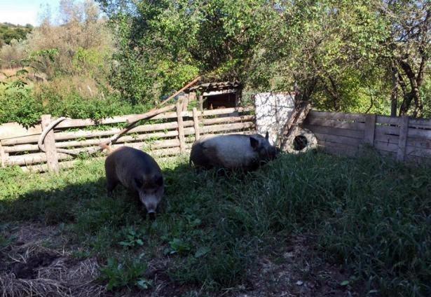 Două focare de pestă porcină africană la mistreți, în comunele Rășinari și Marpod