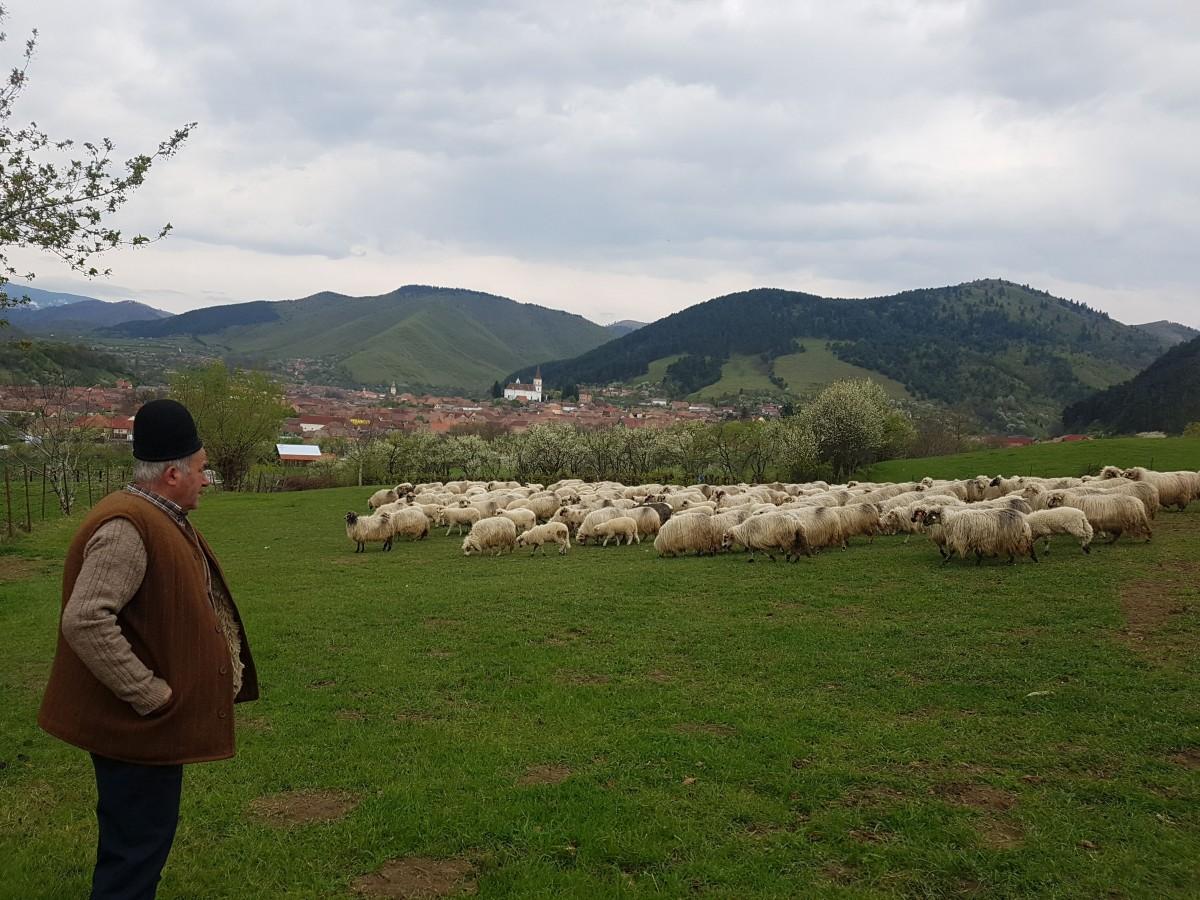Cât mai câștigă un cioban la Sibiu? Salariu de 4500 de lei, cu carte de muncă