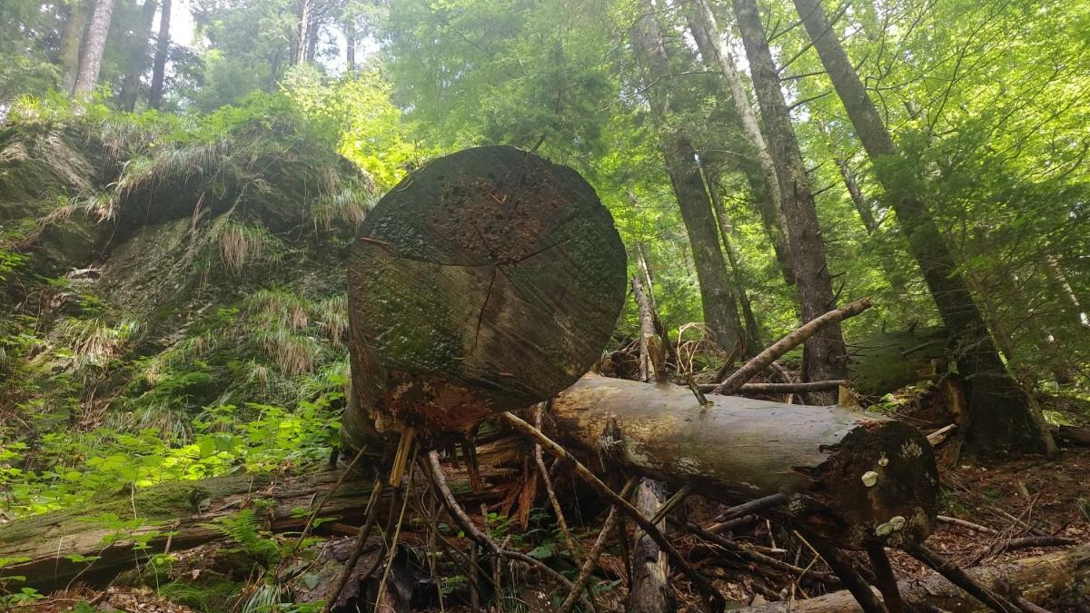 BBC, despre crimele din pădurile României:Lemnul furat poate ajunge oriunde în Europa -ca mobilă sau hârtie