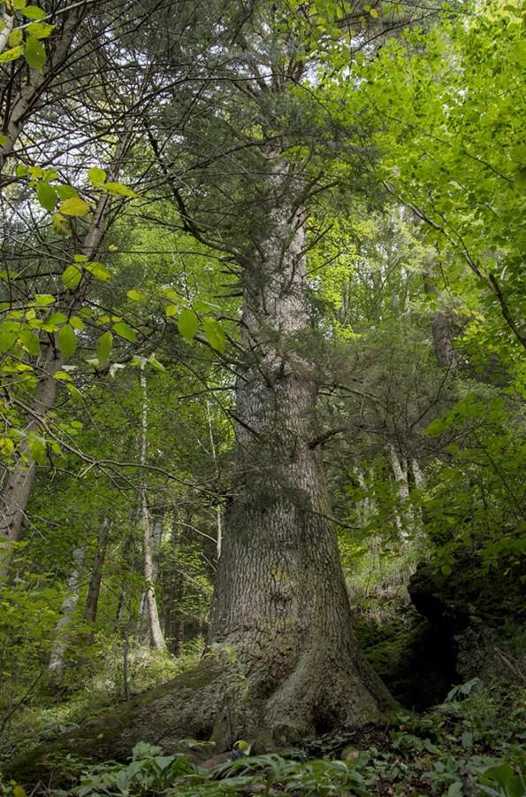 """""""Bradul Ciobanului cu 10 mioare"""" se află pe locul 4 în topul preliminar. Sibiul încă poate da """"Arborele european al anului"""""""