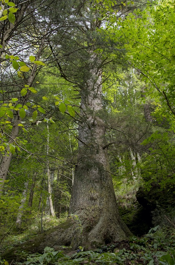 Arborele anului 2020: Bradul de la Gura Râului, pe locul 5 în Europa
