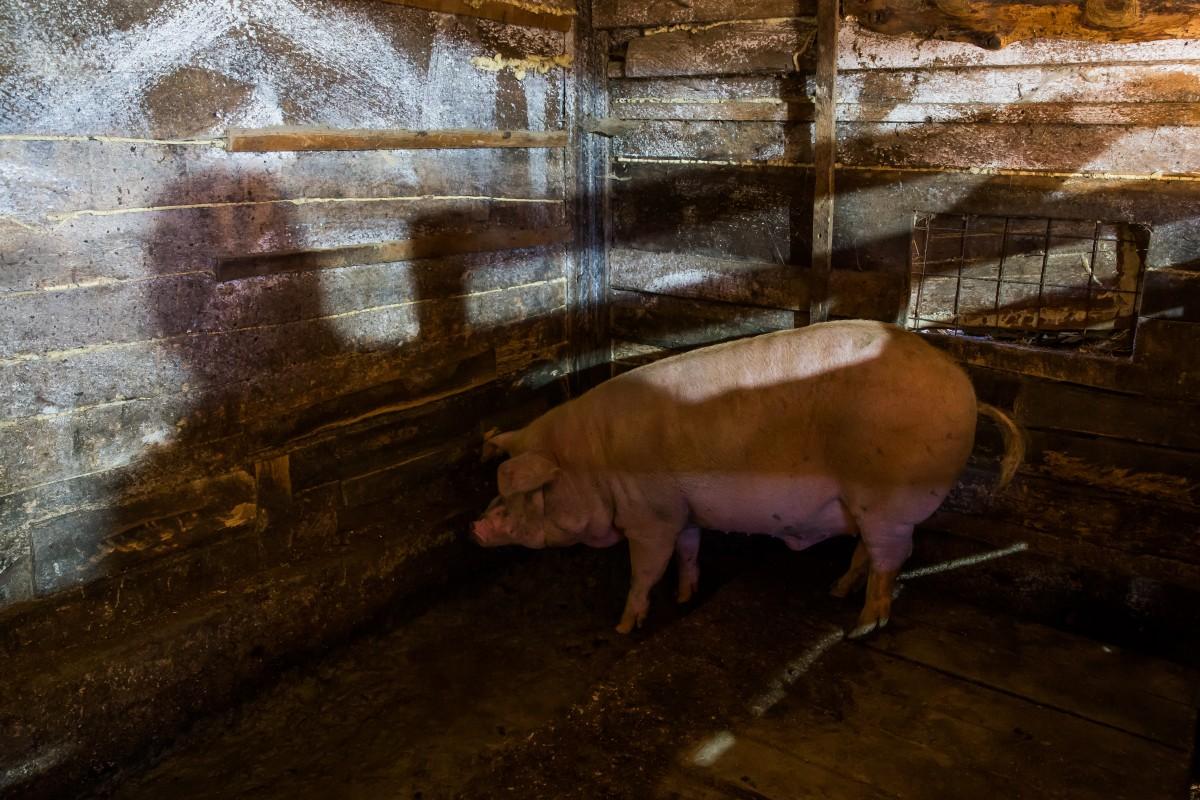 Pesta porcină a ajuns în Șelimbăr: 29 de porci au fost uciși. Sibiul a intrat în zona de protecție