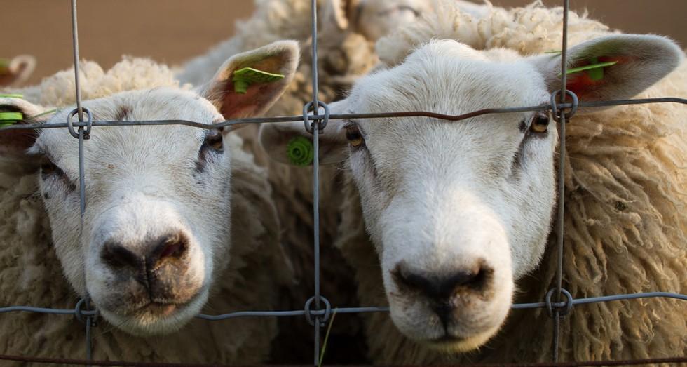 Sute de oi sunt sacrificate în Sibiu. Focare de scrapie în mai multe localități din județ