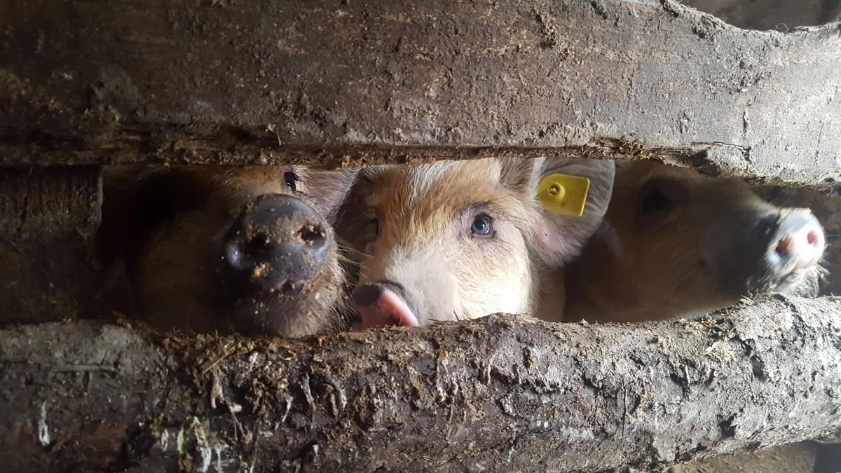 """Vremea pestei porcine în Sibiu: zeci de animale vândute on-line. """"Este infracțiune!"""""""