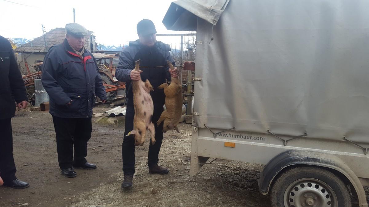 Oficial: în Sibiu avem focar de pestă porcină. 20 de localități puse sub protecție și supraveghere