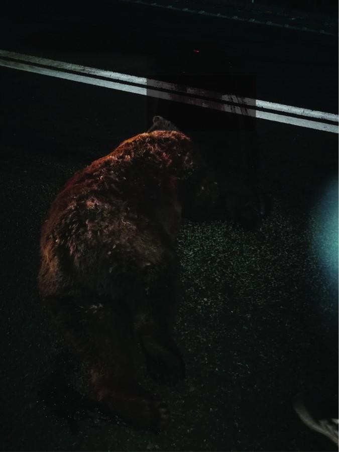 O ursoaică, lovită mortal pe Hula Bradului