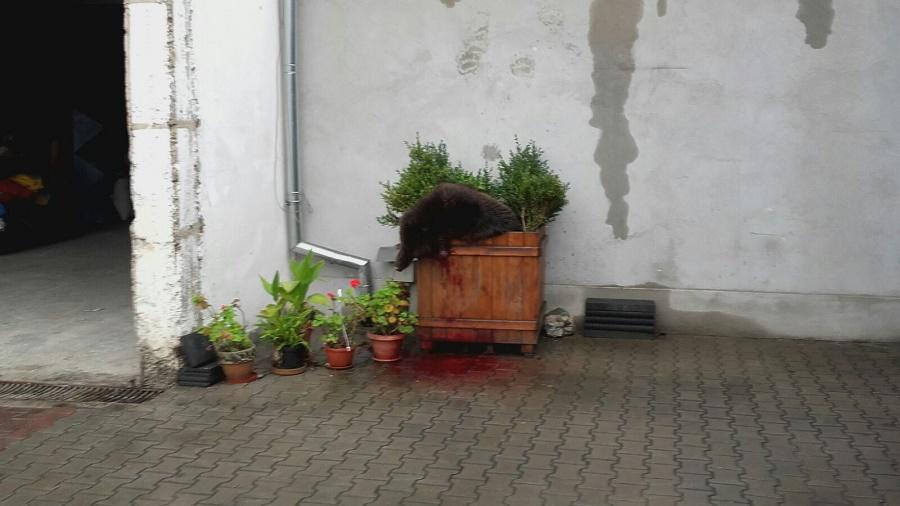 Dacă mâine intră un urs în Sibiu autoritățile n-au niciun plan de acțiune