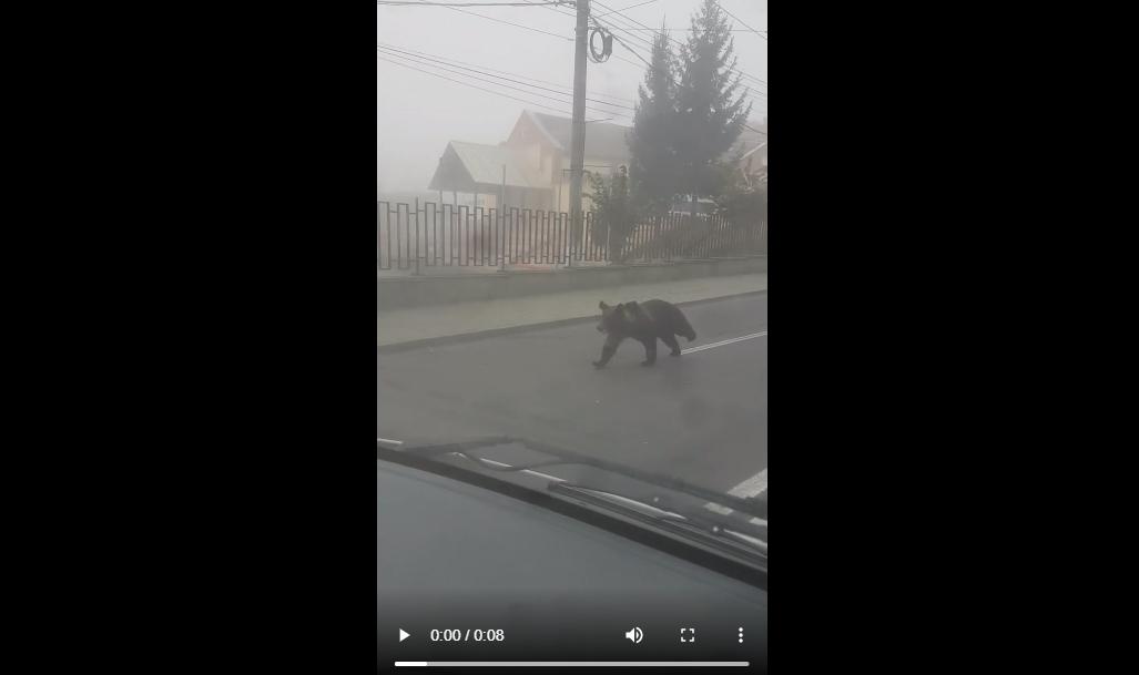 ACTUALIZARE Cum au reacționat jandarmii și polițiștii în cazul ursului din Mediaș