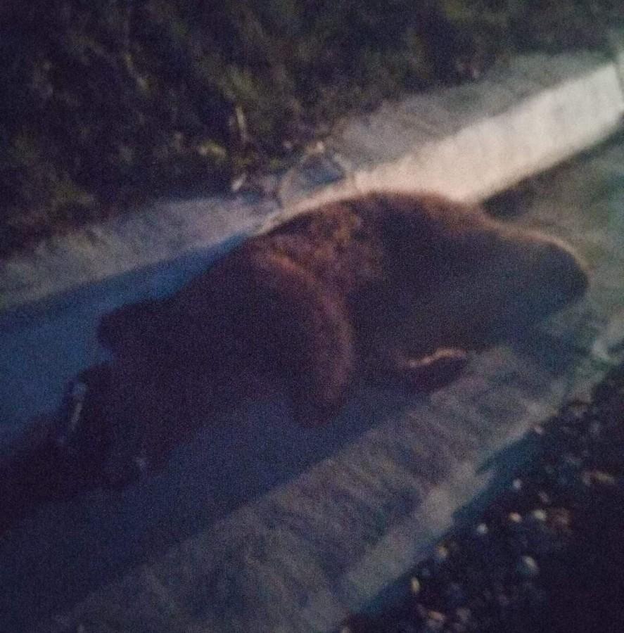 """Accident cu un urs omorât: """"șoferul nu a putut evita impactul"""""""