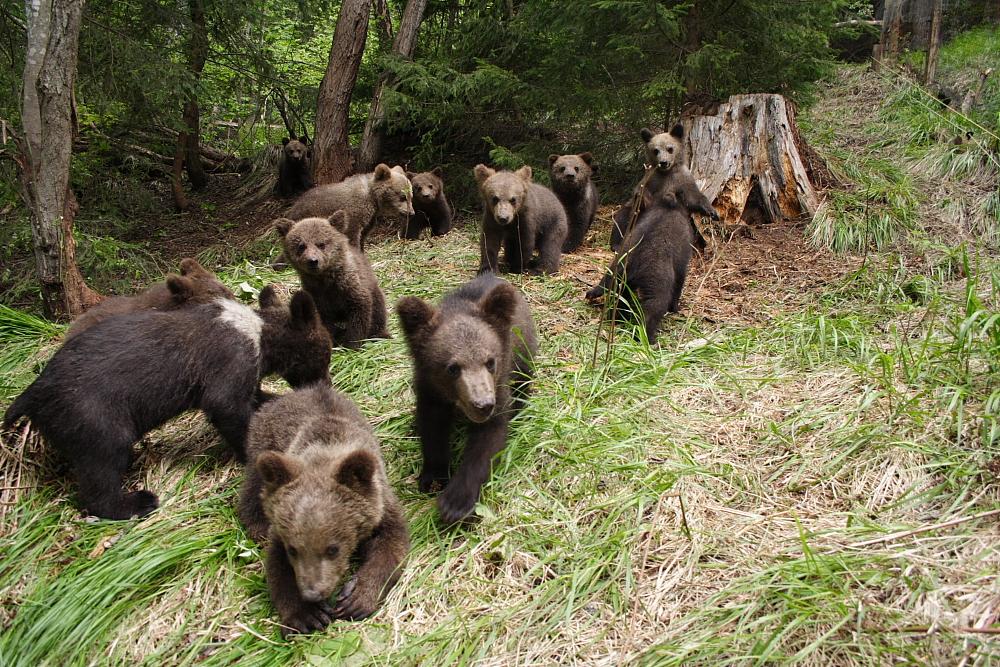 """Consiliile județene cer ajutor UE pentru a scăpa de urși. """"Nu mai pot să garantez siguranța schiorilor din cauza urșilor"""""""