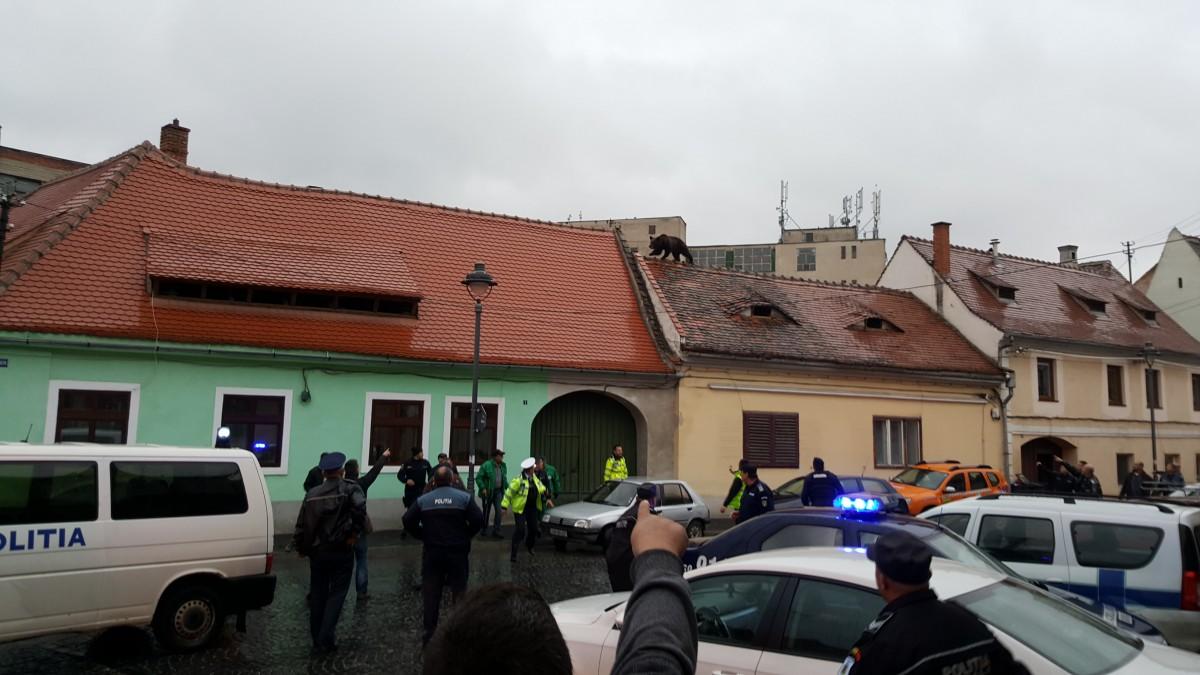 Primăria amenajează o cușcă pentru urșii capturați în Sibiu. Și caută vânători pentru tranchilizările care eșuează